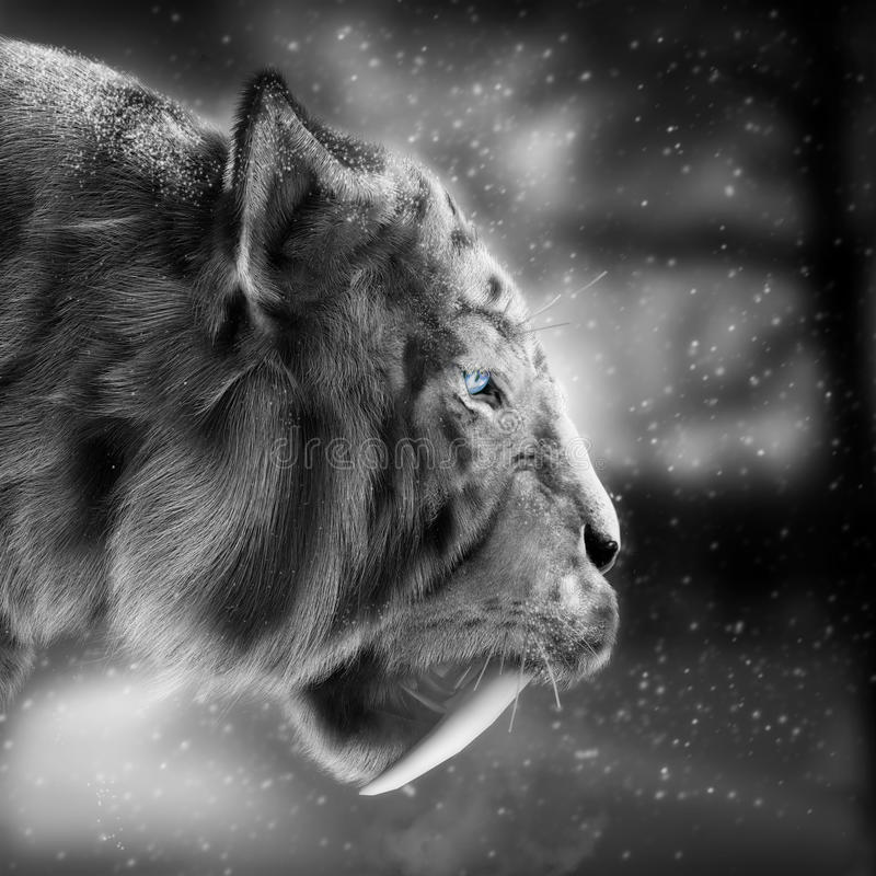 White tiger sabertooth stalking its pray with a snowing winter background . royalty free illustration