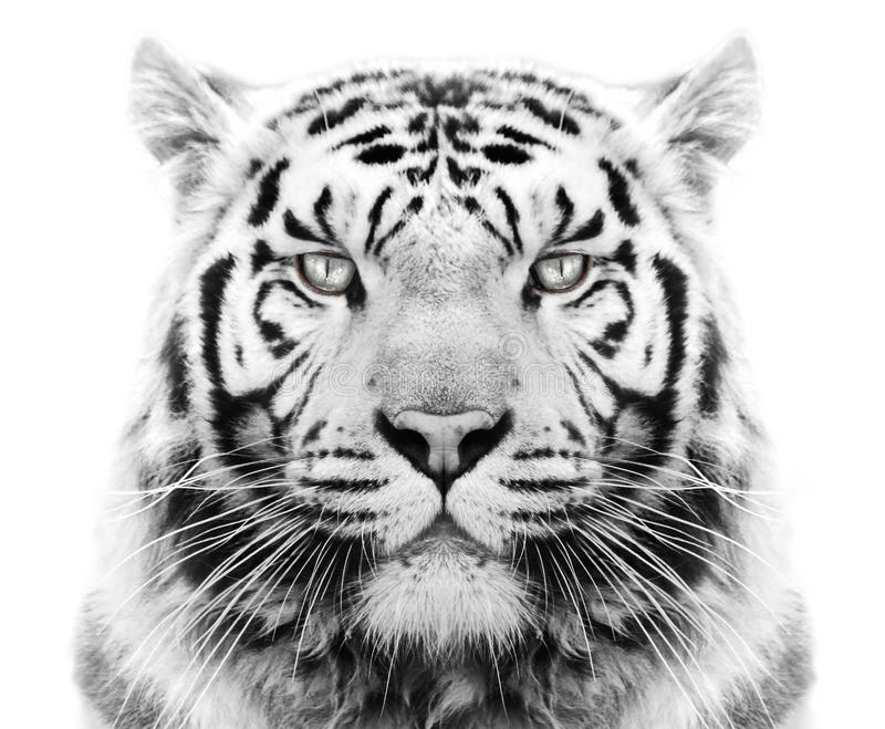 Download White tiger stock photo. Image of white, tiger, face - 37034268