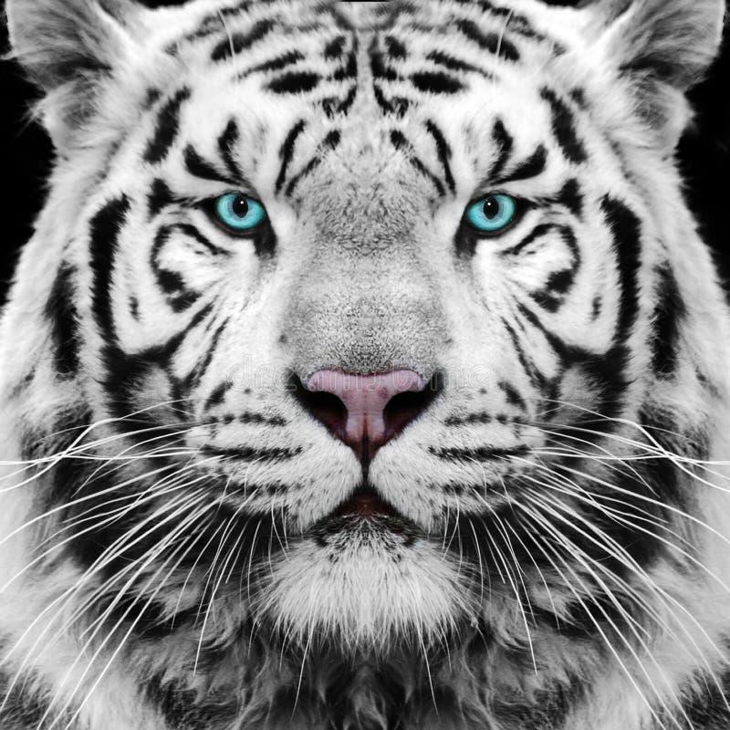 White Tiger royalty free stock photo