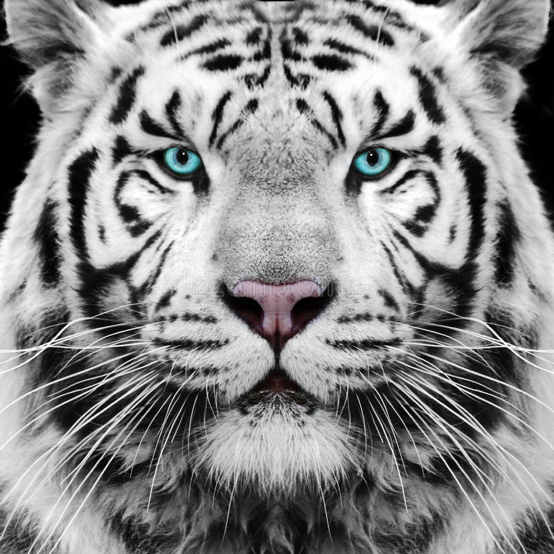 White Tiger. White Siberian tiger face / eyes royalty free stock photo