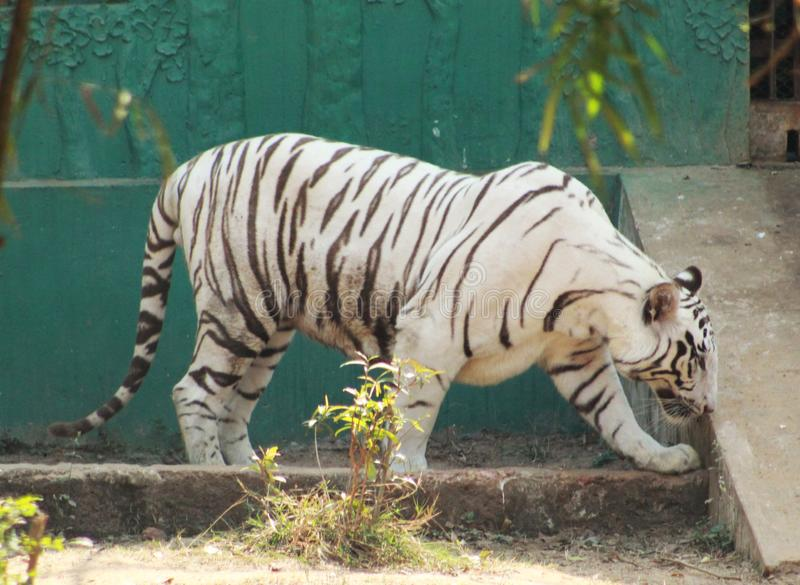 White tiger standing infront of a house stock photos