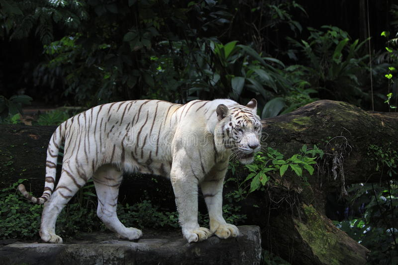 Download White Tiger standing stock photo. Image of protected - 30496042