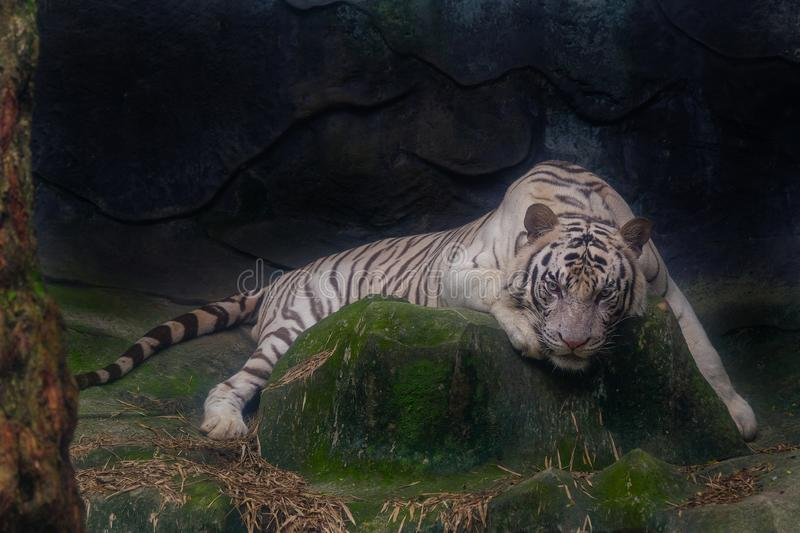 The white tiger stared at rock. The white tiger stared at the rock stock photo