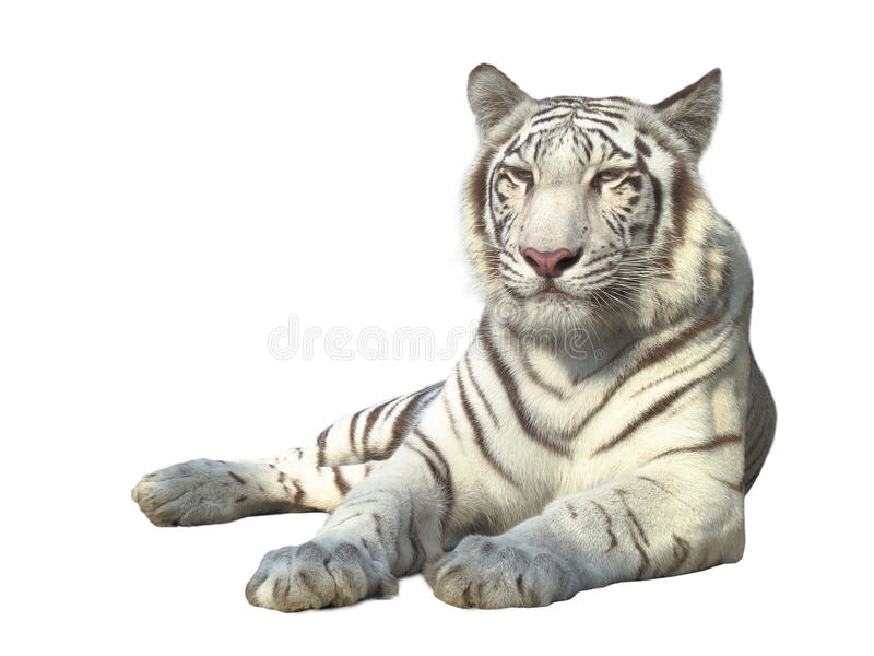 White tiger. The strong white bengal tiger isolated on white background royalty free stock images