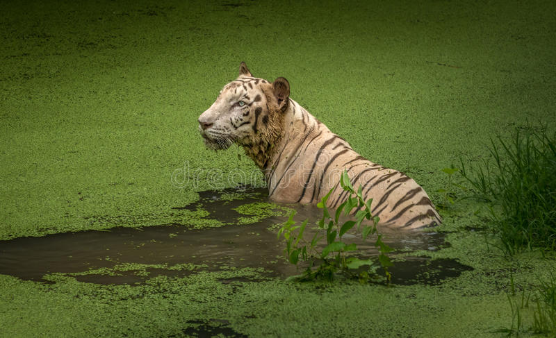 White tiger submerged in a swamp at Sunderban tiger reserve. White Bengal tigers can be rarely seen out of captivity. White Bengal tigers are also called Indian stock images