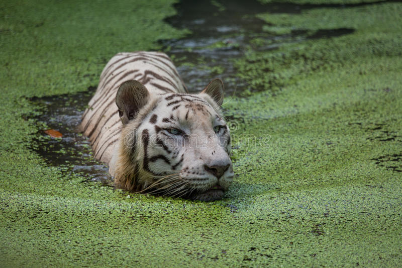 White tiger swims in the water of a marshy swamp. White Bengal tigers are considered as endangered. White Bengal tigers are also called Indian tigers, they are royalty free stock image