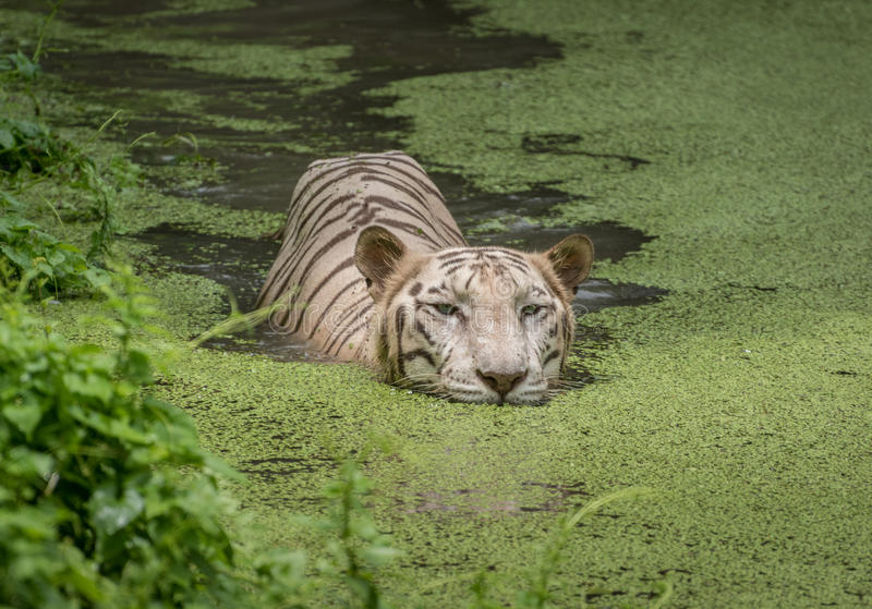 White tiger swims in the water of a marshy swamp. White Bengal tigers are considered as endangered species. White Bengal tigers are also called Indian tigers royalty free stock photography