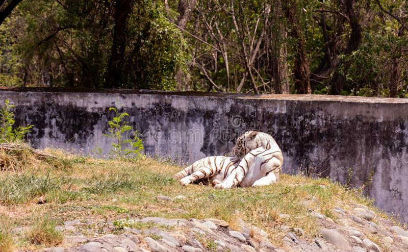 White tiger with turned face resting on ground with green background in chhatbir zoo stock image