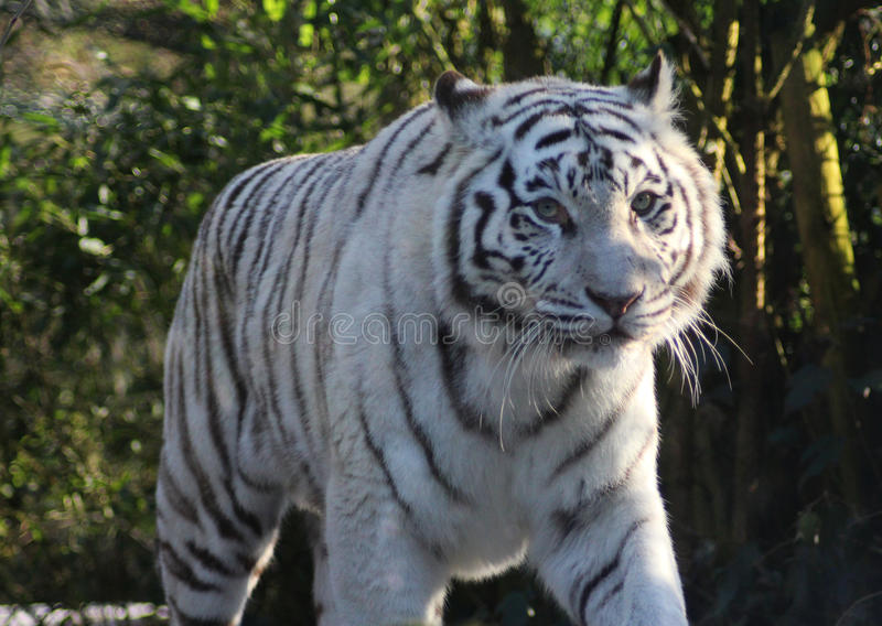 White tiger. Walking in the forest. Foto taken in Amersfoorts zoo in the netherland stock images