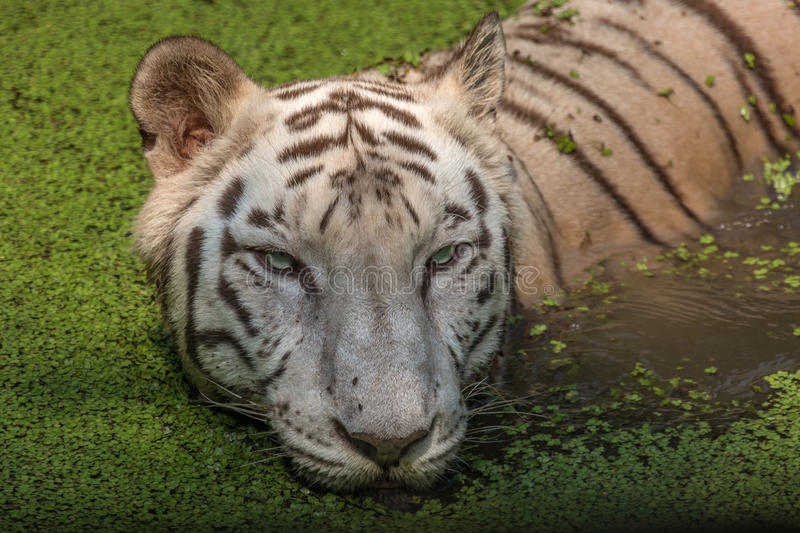 White Tiger in water of a swamp close up portrait head shot. White Bengal Tiger half submerged in marshy water at Sunderban National Park. Shot on a safari to royalty free stock photo