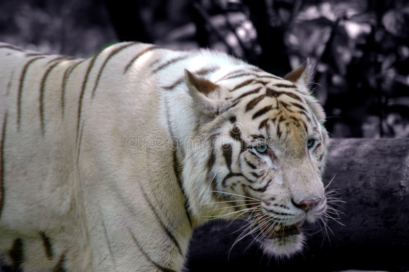Download White Tiger in Winter stock photo. Image of pattern, agression - 671176