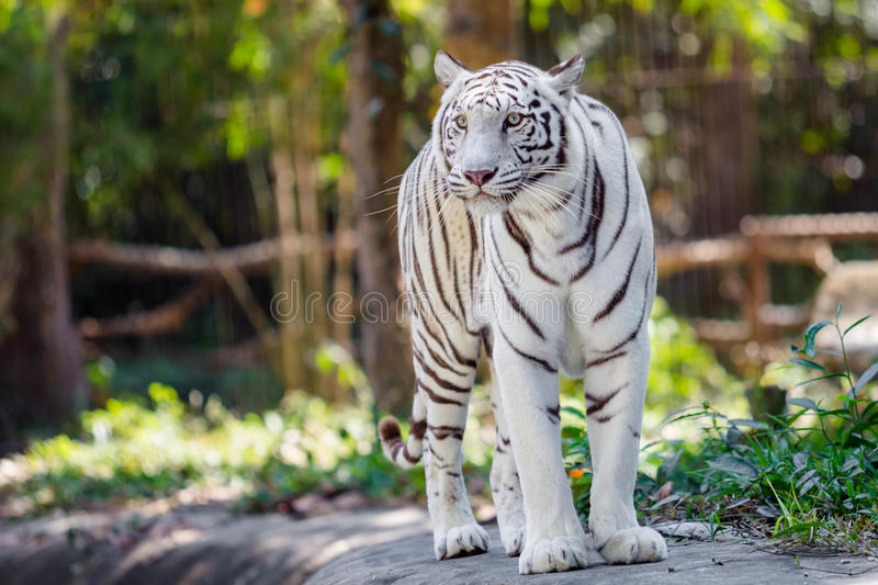 White tiger. In the zoo royalty free stock images