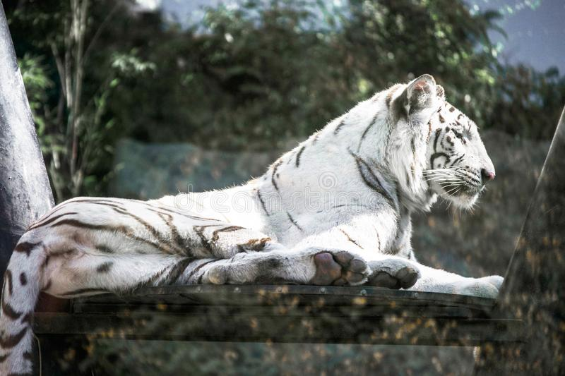 White tiger at the zoo. In argentina stock photos