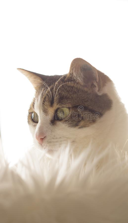 White tigered cat in front of furry surface. The head of a white cat whith green eyes sitting on a furry surface royalty free stock photo