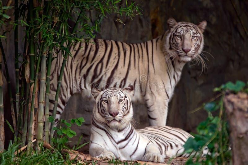 White tigers. royalty free stock photos
