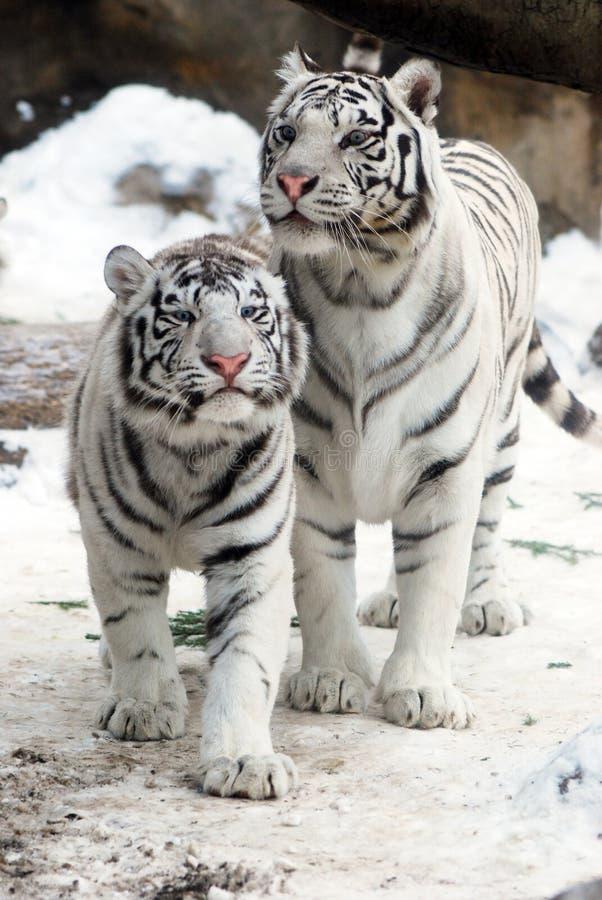 White Tigers stock photo