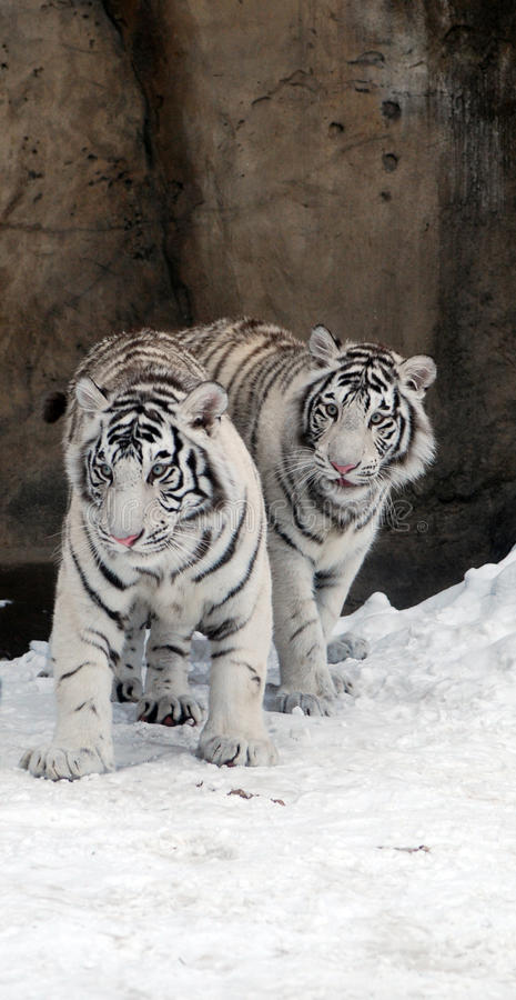 White Tigers royalty free stock photo