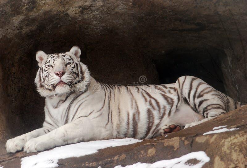 Download White Tigers stock image. Image of black, exotic, animal - 21180857