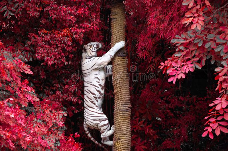 White tigers are climbing trees in the wild nature. stock photos