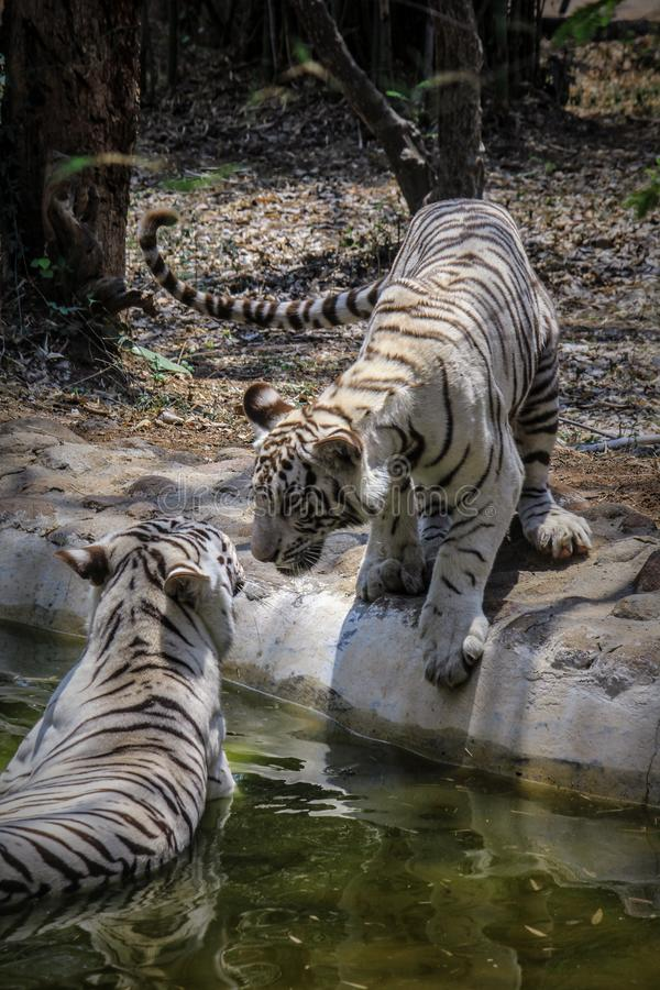 White tigers pair royalty free stock image