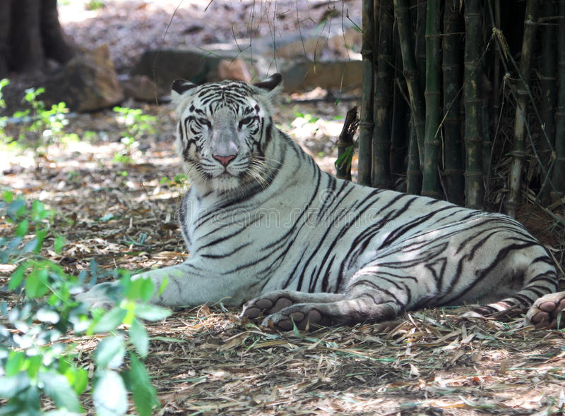 Download White Tigers Stock Images - Image: 34715014