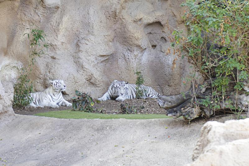 White tigers stock photo