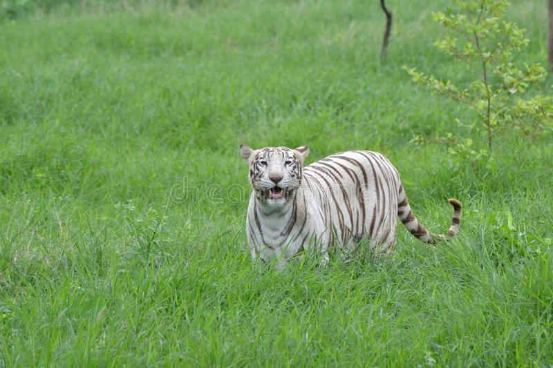 White Tigress India. White Tigers are the result of abnormal pigmentation of Royal Bengal Tiger(Panthera tigris) of India. Mostly these Tigers are seen in stock image