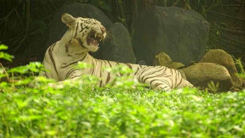 White Tigress yawon på djurparken arkivbild