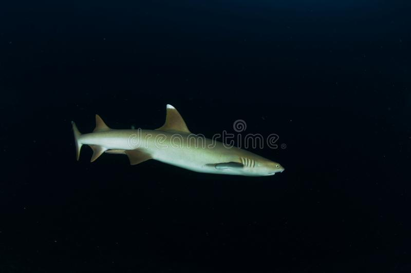 A white tip shark triaenodon obesus in the Maldives waters stock photo