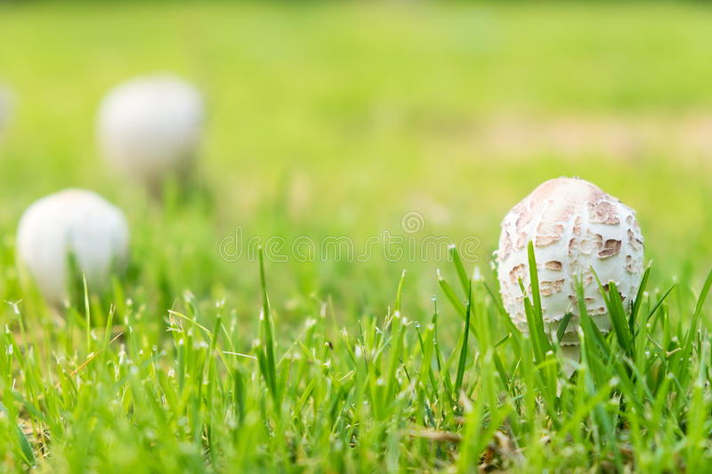 White toxic mushroom. Selective focus on white toxic mushroom in the grass field stock image