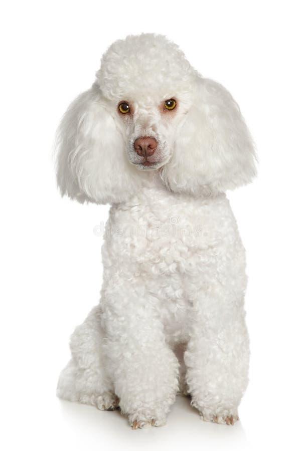 White Toy poodle royalty free stock photos