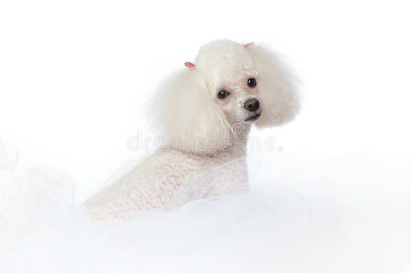White Toy Poodle stock image
