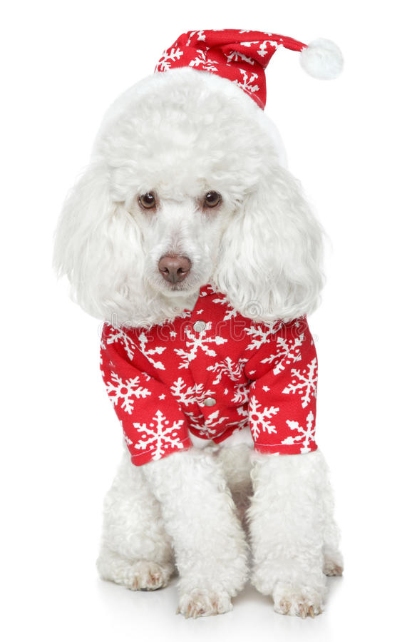 White toy poodle in christmas hat. On a white background royalty free stock image