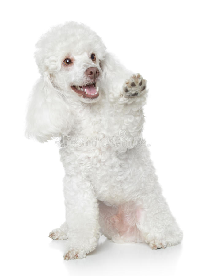 White Toy Poodle gives that a paw. On white background royalty free stock photo