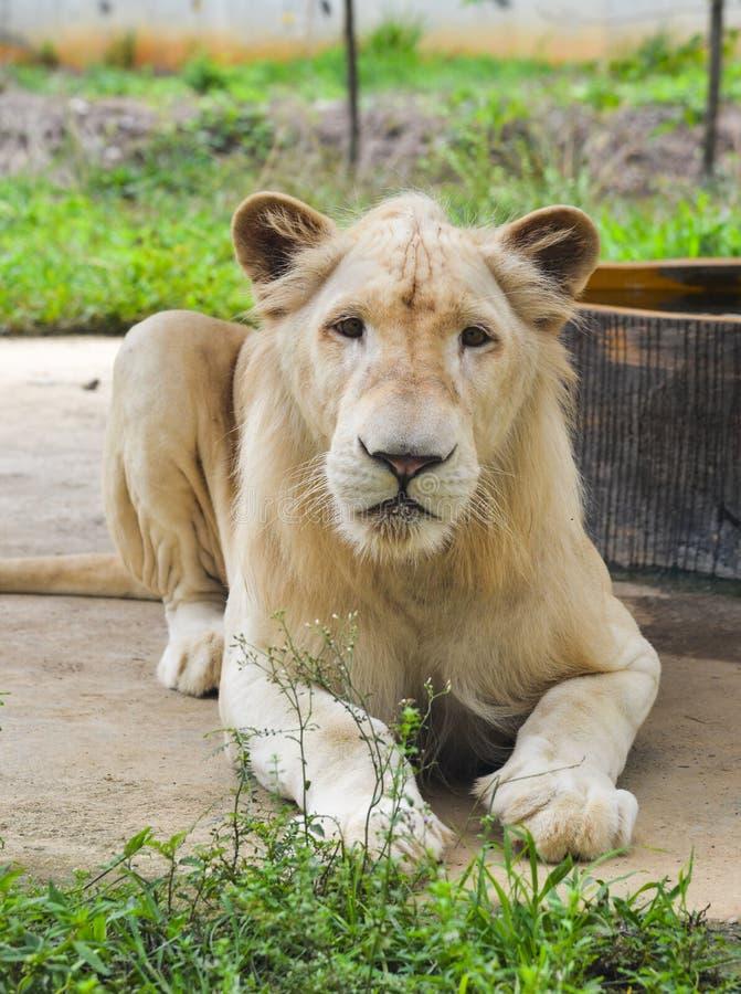 White Transvaal lion Panthera leo krugeri royalty free stock images