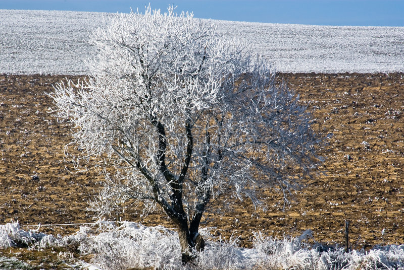 White tree. A lone tree in white foliage standing alone in a field. The vegetation near the tree and far behind is also white royalty free stock photo