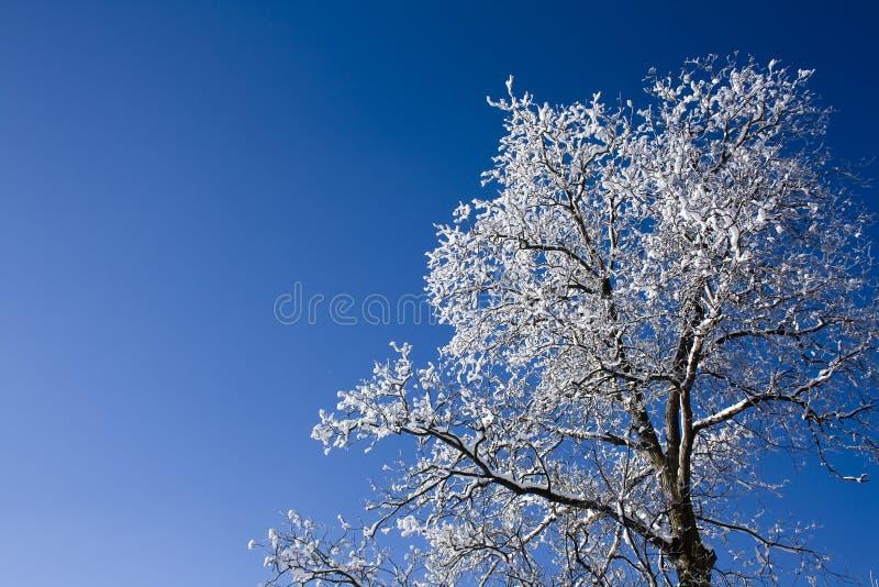 Walnut tree with blue sky stock photography