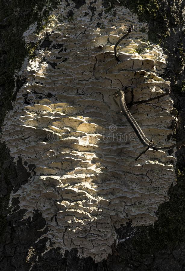 White tree decay fungus growing on chestnut tree royalty free stock photo