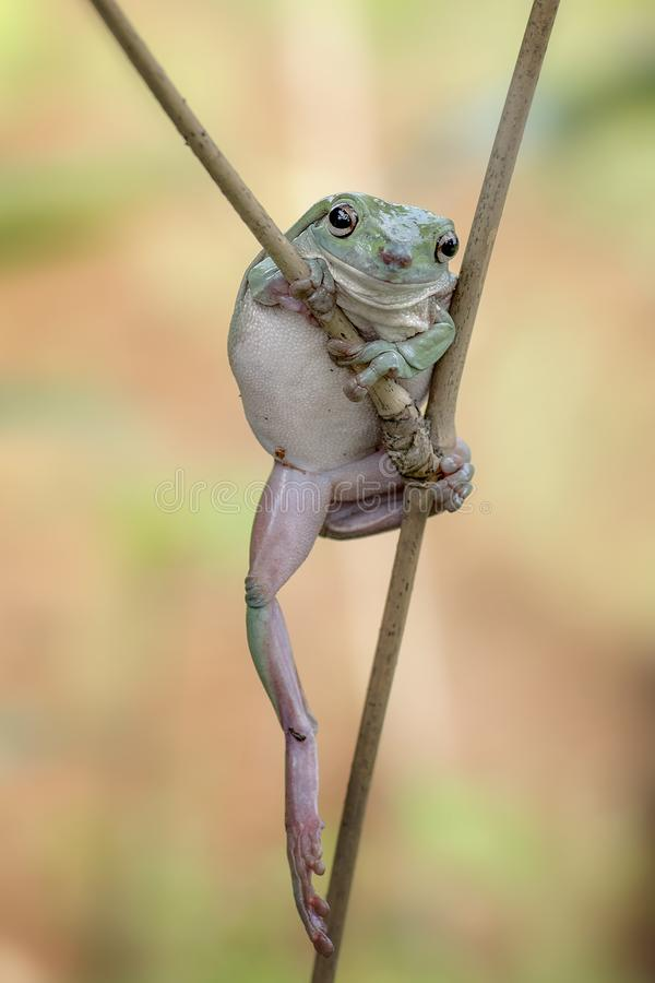 White tree frog. Or know as dumpy frog in their enviroment stock photography