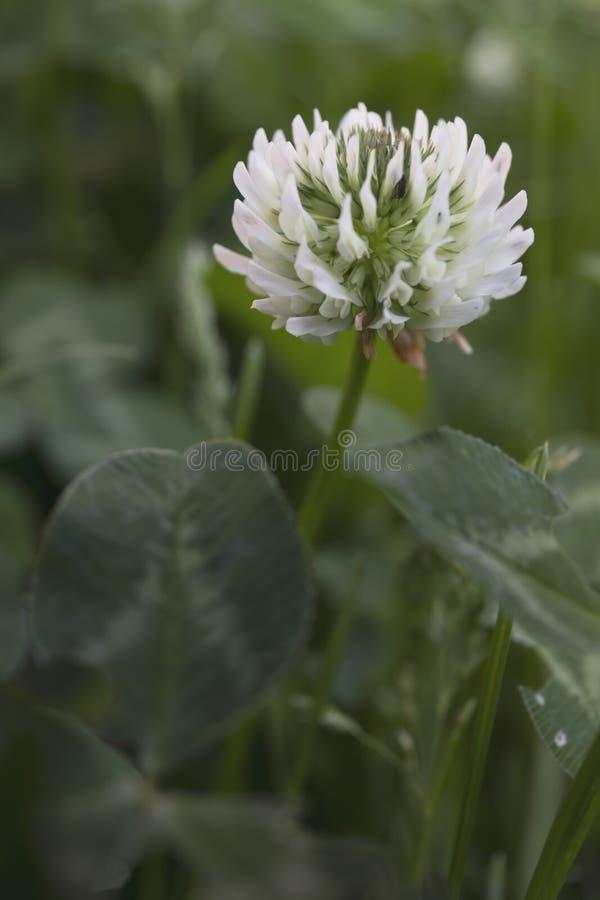 White trifolium repens in the garden stock image