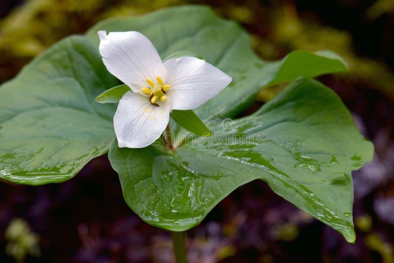 White trillium flower detail stock photo image of grandiflorum download white trillium flower detail stock photo image of grandiflorum trio 108177430 mightylinksfo