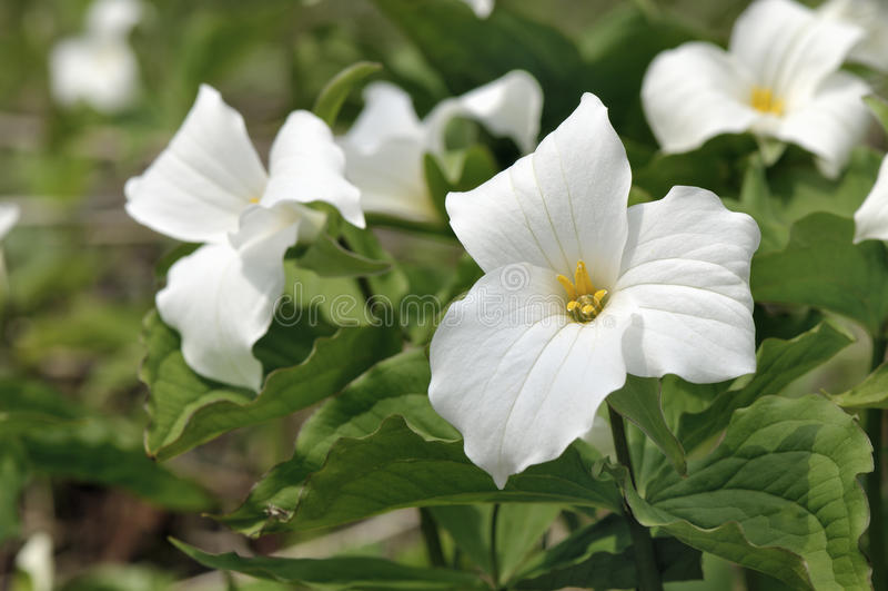 White trillium stock photo