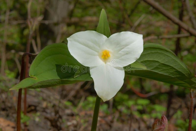 Download White Trillium stock image. Image of environment, ontario - 116793029