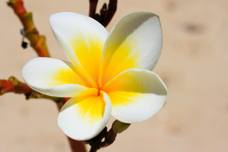 White tropical flower close up stock image