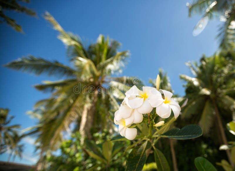 White tropical frangipani flower stock photography