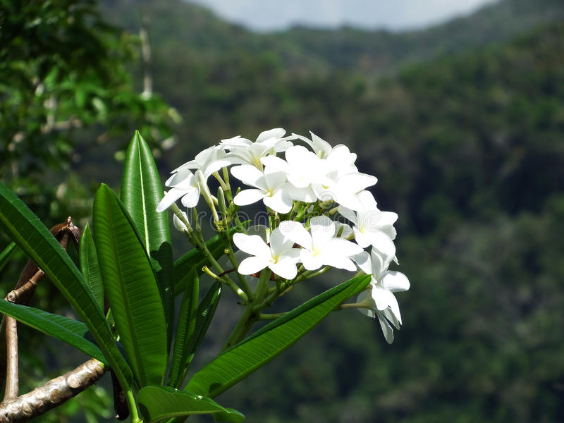 White Tropical Jungle Flowers with Mountain Background royalty free stock photo