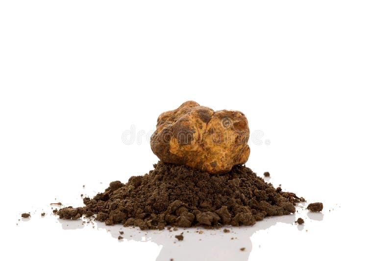 White truffle on earth pile tuber magnatum isolated on white stock photos