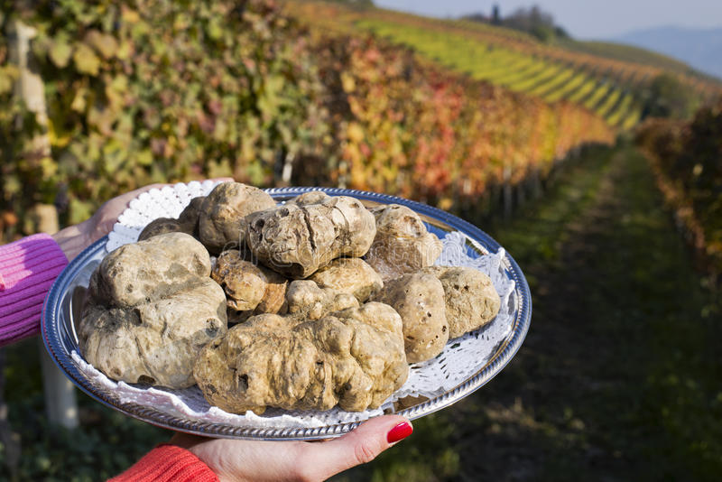 White truffles from Piedmont on the tray in the background hills. White truffles from Piedmont, Italy, placed on tray held by the hands of a woman in the stock photo