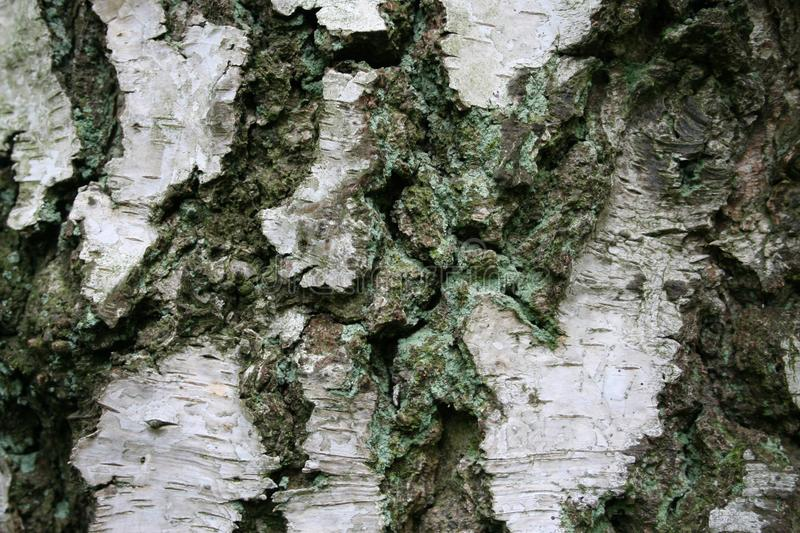 Detail / macro picture of the white trunk of a birch. White trunk of birch, detail / macro picture zooming in on the trunk of a birch, bark of a birch stock photos