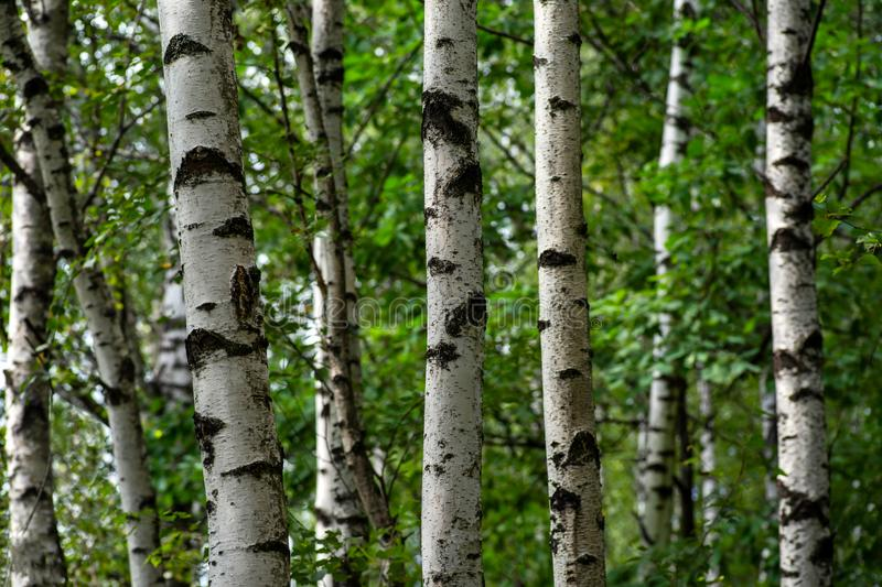 White trunks of birch trees contrast with green leaves. Black and white trunks of birches on the background of green leaves royalty free stock images